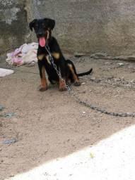 Vendo se um rottweiler misturado 300 reais