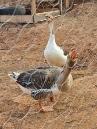 Título do anúncio: Vendo um casal de gansos