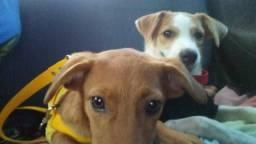 Cadelas castradas para doação responsável