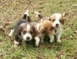 Vende- se cachorros beagles