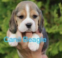 Beagle Filhote Minni com Pedigre e Garantia de Saúde