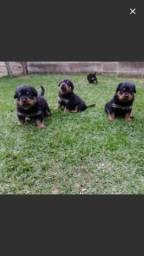 Rottweiler///Canil Canaã//Piauí