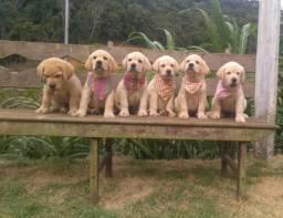 São Luís/MA Filhotes de Labrador Retriever