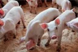 Leitão e porcos pietran puro para matrizes e reprodutores