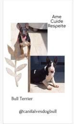 Filhotes de bull terrier Disponivel..Machos