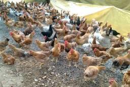 Frango e galinha caipira