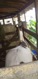 Potra, paint horse