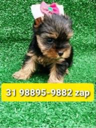 Título do anúncio: Filhotes Cães em BH Yorkshire Lhasa Maltês Basset Beagle Poodle Shihtzu