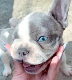 Lindo Bulldog francês macho Blue Pied