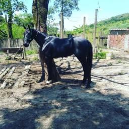 Cavalo american trotter argentino premiado