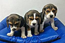 Beagle Filhotes com Pedigree / Garantia de saúde