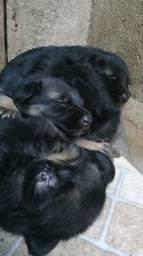 Puppies de Pastor Alemão Capa Preta