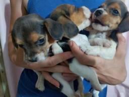Beagles machinhos tricolor