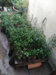 Vende se mudas de pimenta