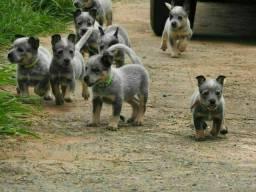 Filhotes Blue Heeler Boiadeiro Australiano *Vacina Importada *Garantia de saúde