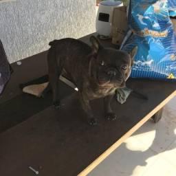 Bulldog francês adulto preço de ocasião!!!
