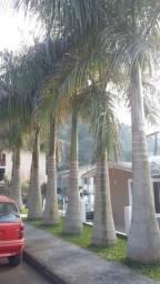 Palmeira-imperial adultas, em média 7 metros