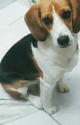 Beagle puro pedigree