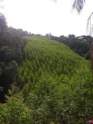 Terra com 2.000 pés eucalipto plantado a 6 anos