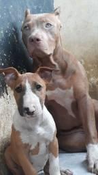 Bull terrier  tri  femia curtinha