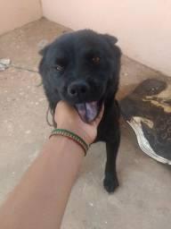 Cachorra mestiça