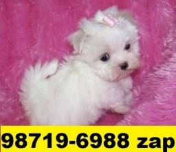 Canil Maravilhosos Filhotes Cães BH Maltês Lhasa Poodle Yorkshire Shihtzu Beagle Bulldog