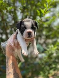 Bull Terrier Inglês , filhotes disponíveis!