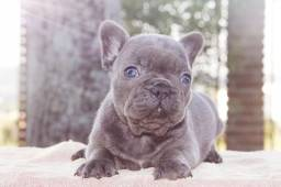 Bulldog frances femea  blue solido