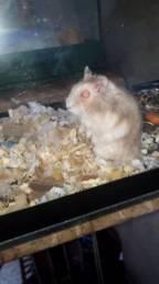 Hamster anão russo macho