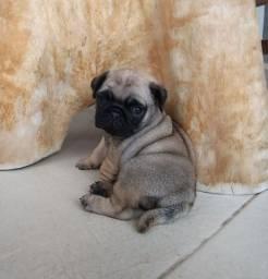 Canil baby dreams  / Pug  fêmea
