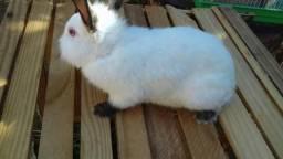 Vendo mini coelhos