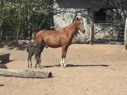 Vendo Égua parida e enxertada