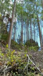 Roça de eucalipto
