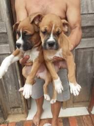Vende-se cachorros