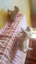 Lindos Filhotes de poodle