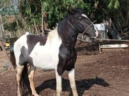 Título do anúncio: Cavalo pampa de preto