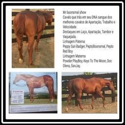 Cavalo Quarto de Milha Registrado