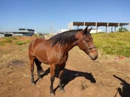 Título do anúncio: Cavalo mestiço crioulo com quarto de milha
