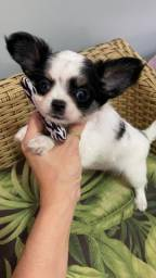 Chihuahua. Lindo machinho de Chihuahua Pêlo longo!!!