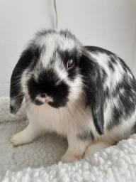 Título do anúncio: Mini coelho Mini Lop