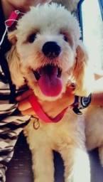 Poodle para adoção! Ele tem 1 aninho !