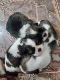 Reserva de filhotes de shitzu