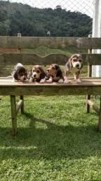Filhotes de Beagle Inglês-Fortaleza/CE