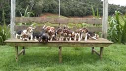 Filhotes de Beagle Inglês (RESERVA)-Campo Grande/MS
