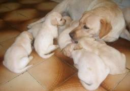 Filhotes labrador (última fêmea)