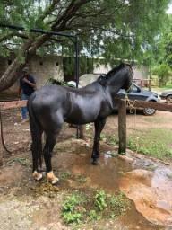Vendo otimo cavalo QM!!