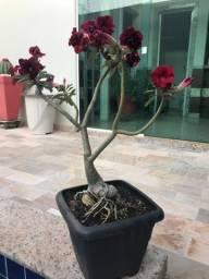 Rosa do deserto- preta/vermelho matriz 60 cm