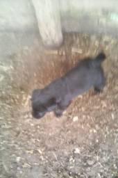 Vendo filhote de rottweiler fêmea