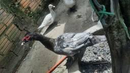 Patos e Patas