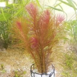 Título do anúncio: Plantas aquáticas para Aquarius